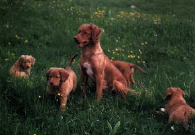 NOVA SCOTIA DUCK TOLLING RETRIEVER Felicia02